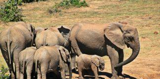 elephant animal herd of elephants elephant family